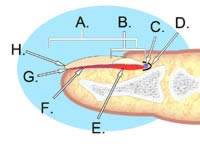 human nail anatomy