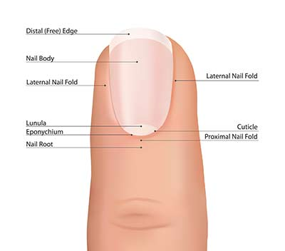 medical anatomy of the nail to be learned by technicians in school